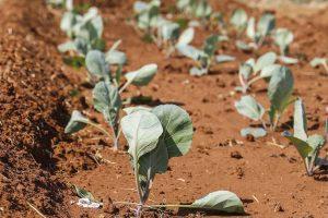 Erstes Gemüse wächst